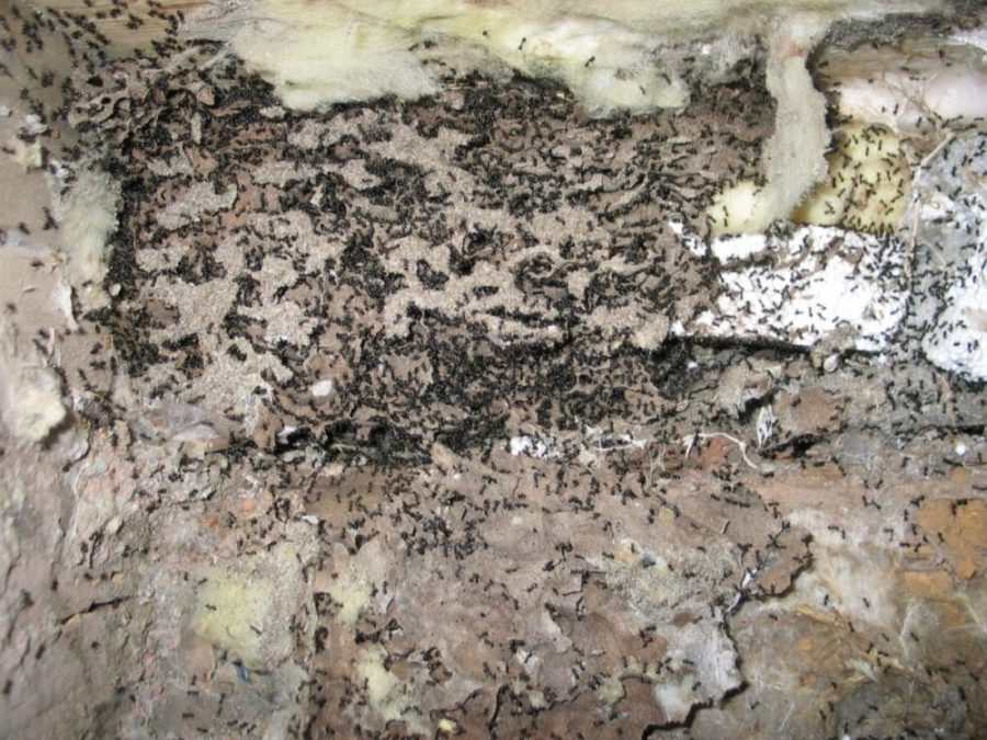 Viser masse svarte jordmaur, avdekket i en fuktskadet sponplate.