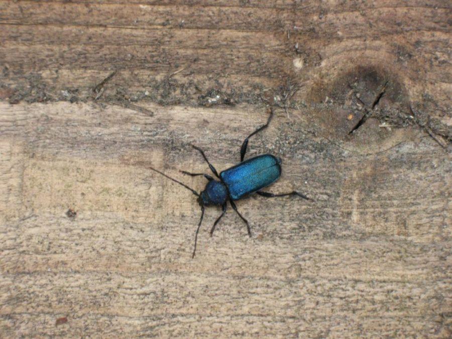 Bilde av billen blåbukk hvor man tydelig ser dens karakteristiske blåsvarte farge
