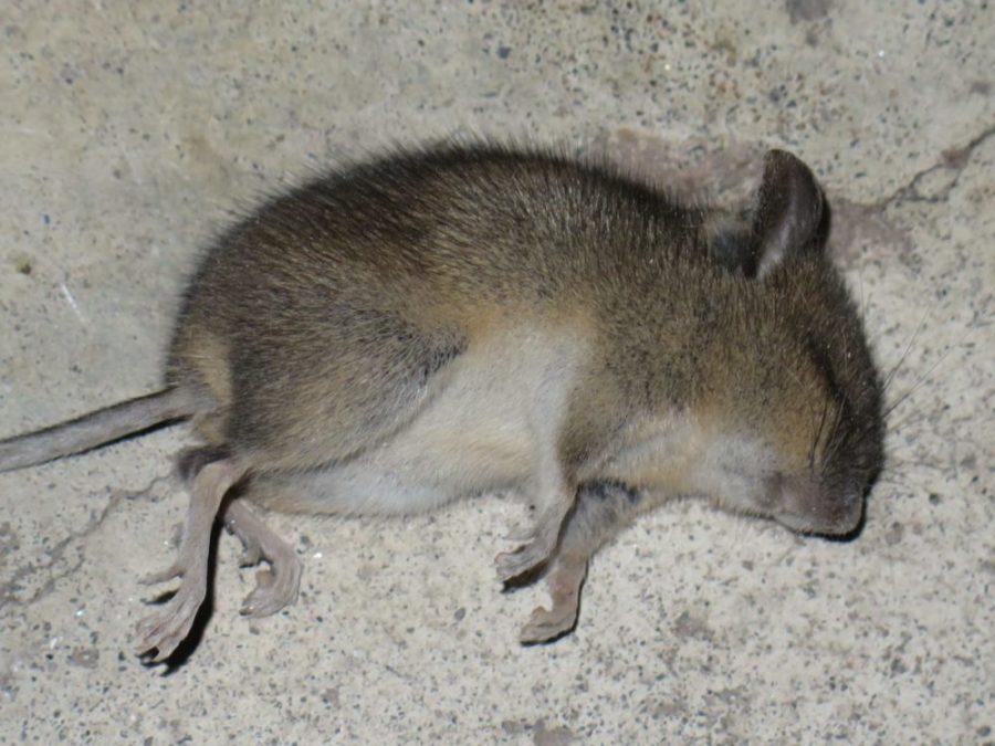 Bilde av en død mus som ble funnet i et bjelkelag.