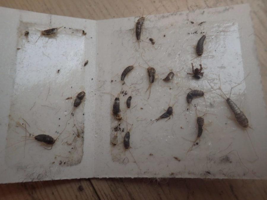 Bilde av flere skjeggkre fanget i en limfelle.