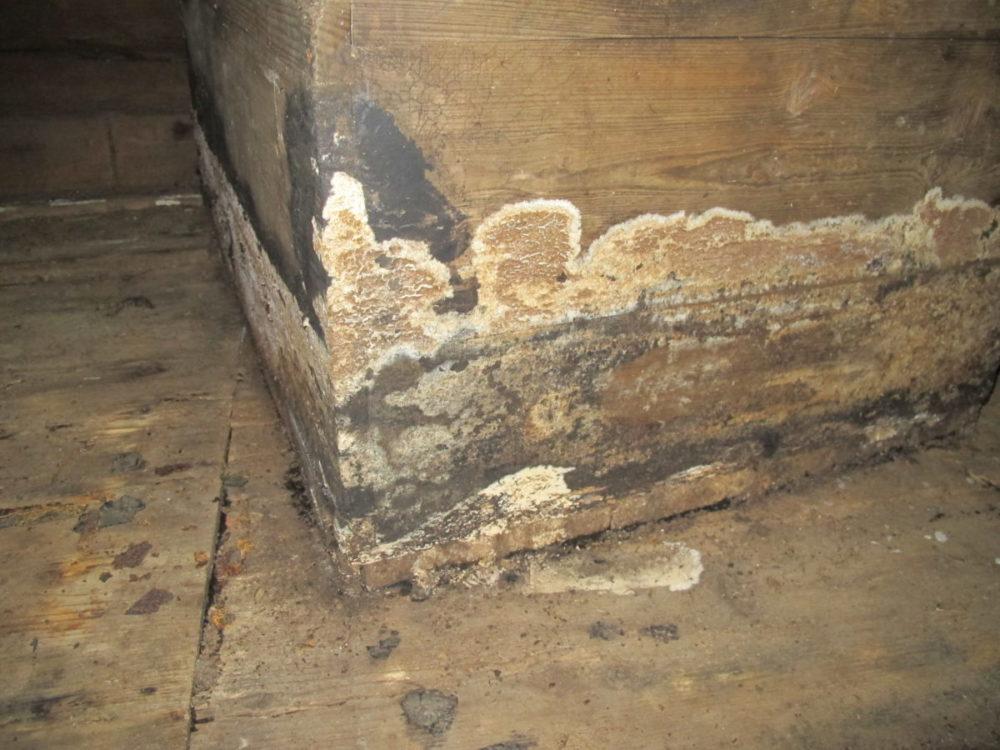 Fruktlegeme til kjellersopp på en kiste. Langvarige lekkasjer har ført til omfattende råtesoppskader.