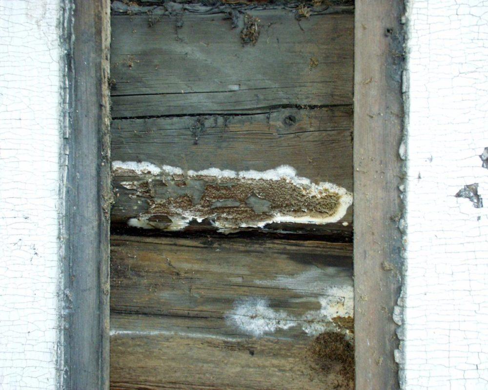 Her ser vi fruktlegeme av kjellersopp på en tømmervegg bak kledningsbord.