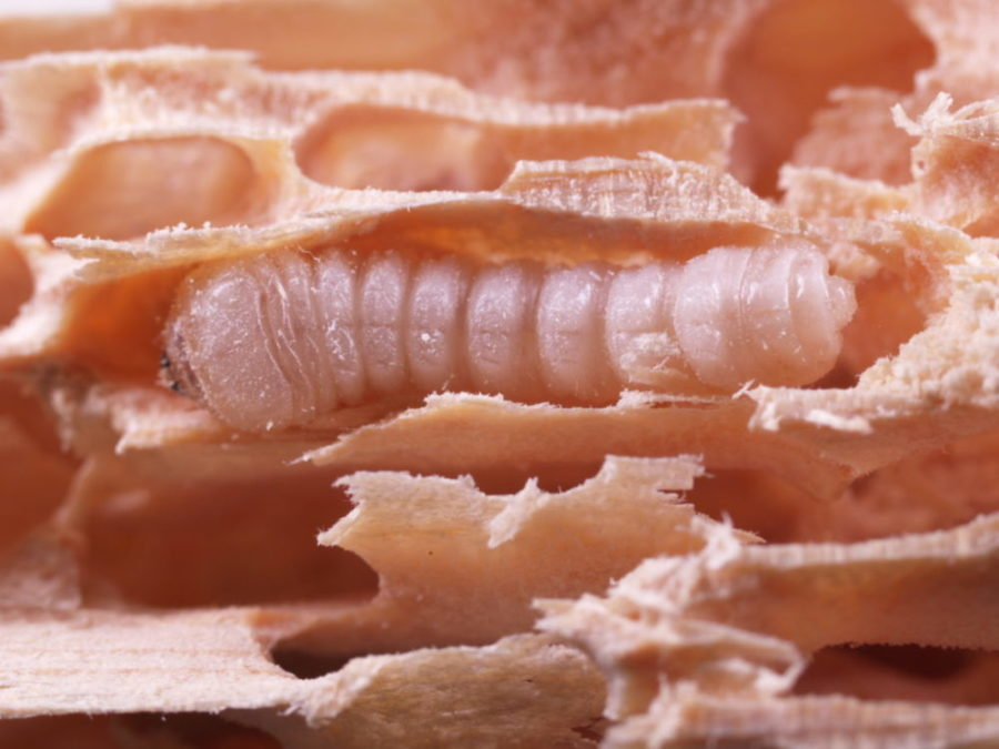 Bilde av husbukklarve i skadet treverk. Boremelet er fjernet og bildet viser skaden billen gjør på treverket.