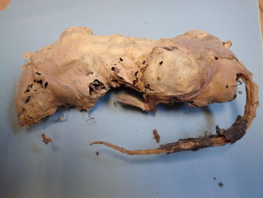 Bilde av et inntørket og delvis oppspist rottelik.