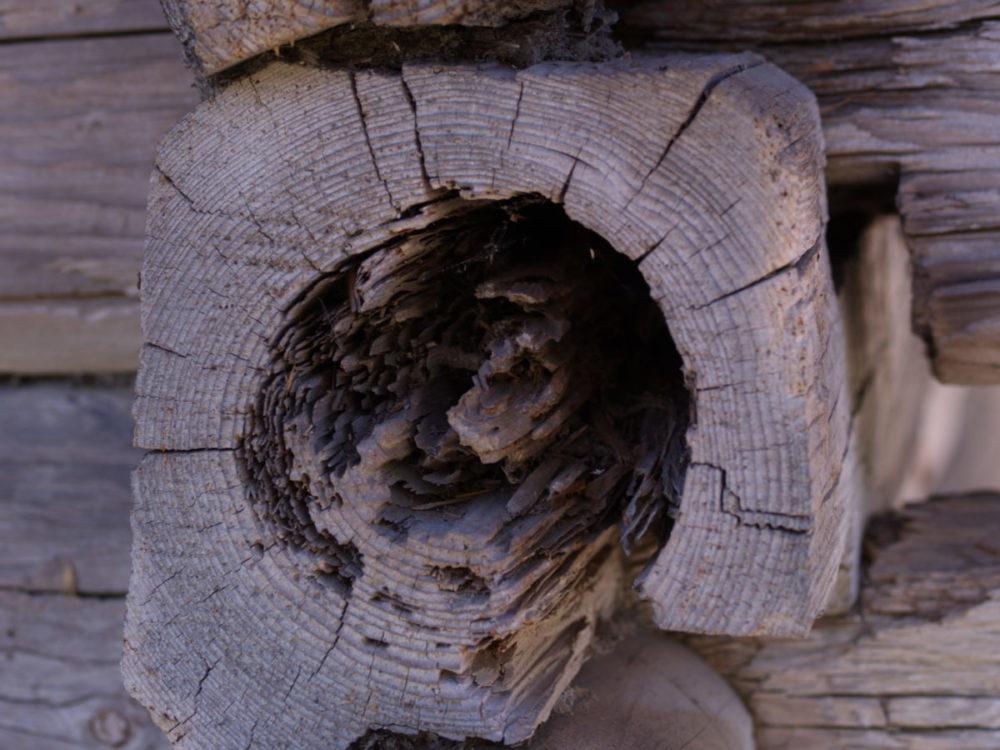Viser innvendig skade i en tømmerstokk på grunn av stokkmaur. Stokken er nesten uthulet.