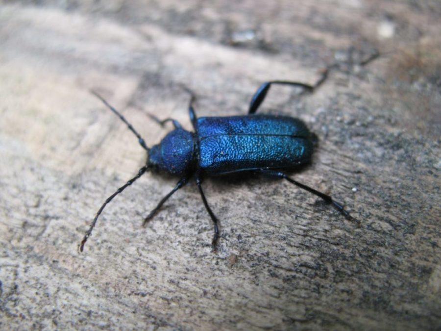 Nærbilde av blåbukken med dens karakteristiske blåsvarte farge.
