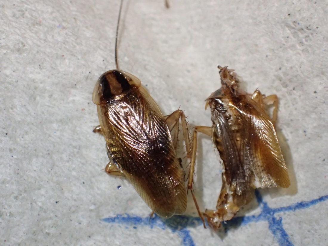 Tysk kakerlakk, nymfe og voksent individ.