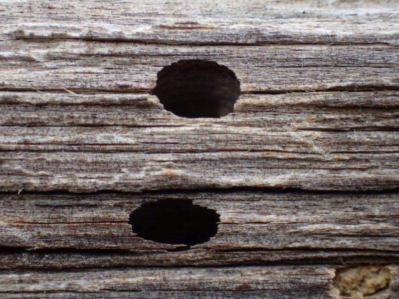 Blide av flygehull laget av husbukklarve. Hullene har mørk inntoning som tyder på gammelt angrep.