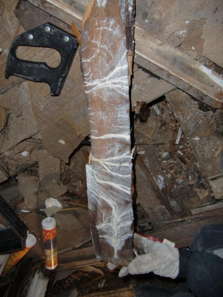 Mycel etter hvit tømmersopp.