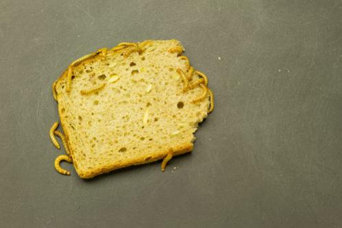 Melbillelarver som spiser på en brødskive