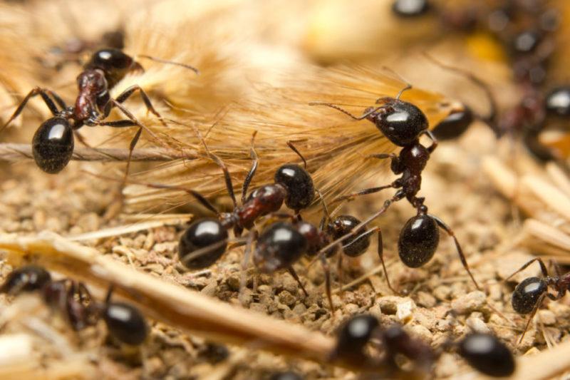 Arbeiderne til svart jordmaur er 3-5 mm lange og forekommer vanligvis i stort antall.