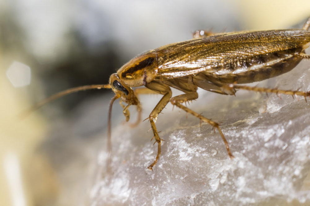 Voksne individer er lysebrune til brungule av farge og ca. 1,0-1,6 cm lange.