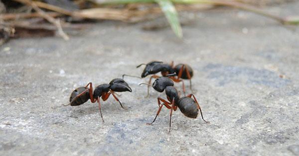 Pass opp for disse insektene i sommer