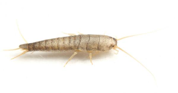 Sølvkreet - et overvintrende insekt