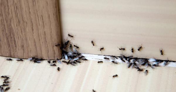 Varmekabler kan lure mauren