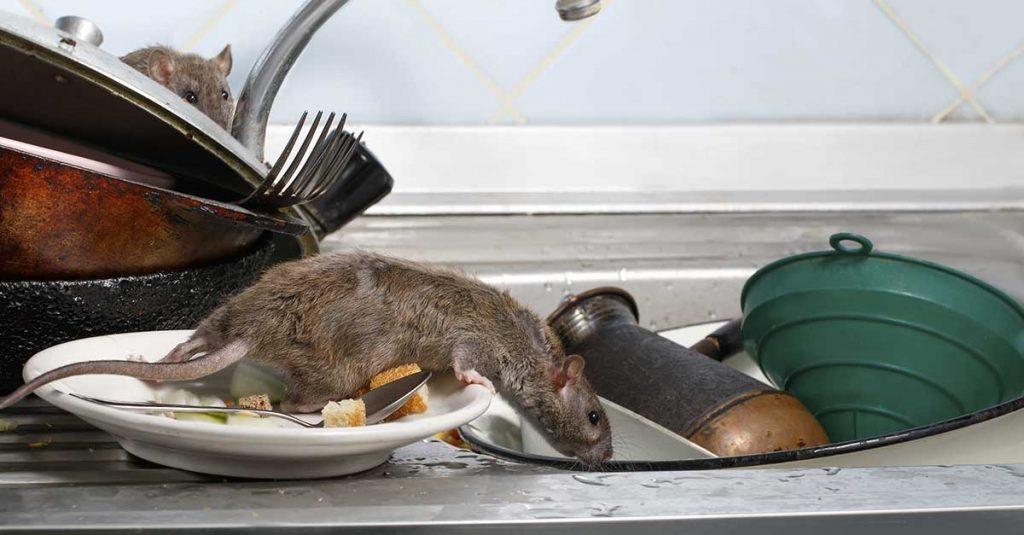 Rotter på kjøkkenet
