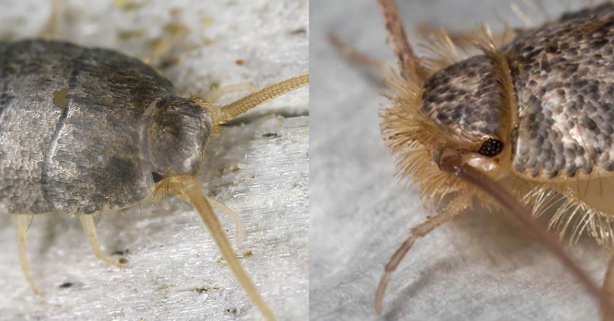 Insekt som ligner på skjeggkre