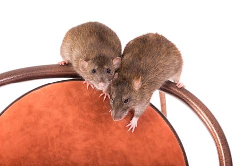 Det satt to rotter på en stol.