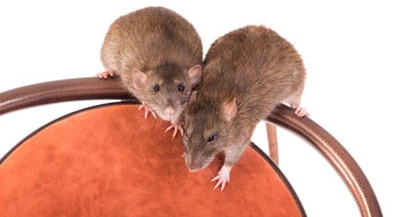 Slik unngår du mus- og rottebesøk i vinter: Sjekkliste