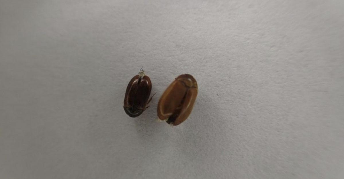 """Bilde av brun pelsbille, også kalt """"Majorstua - billen""""."""