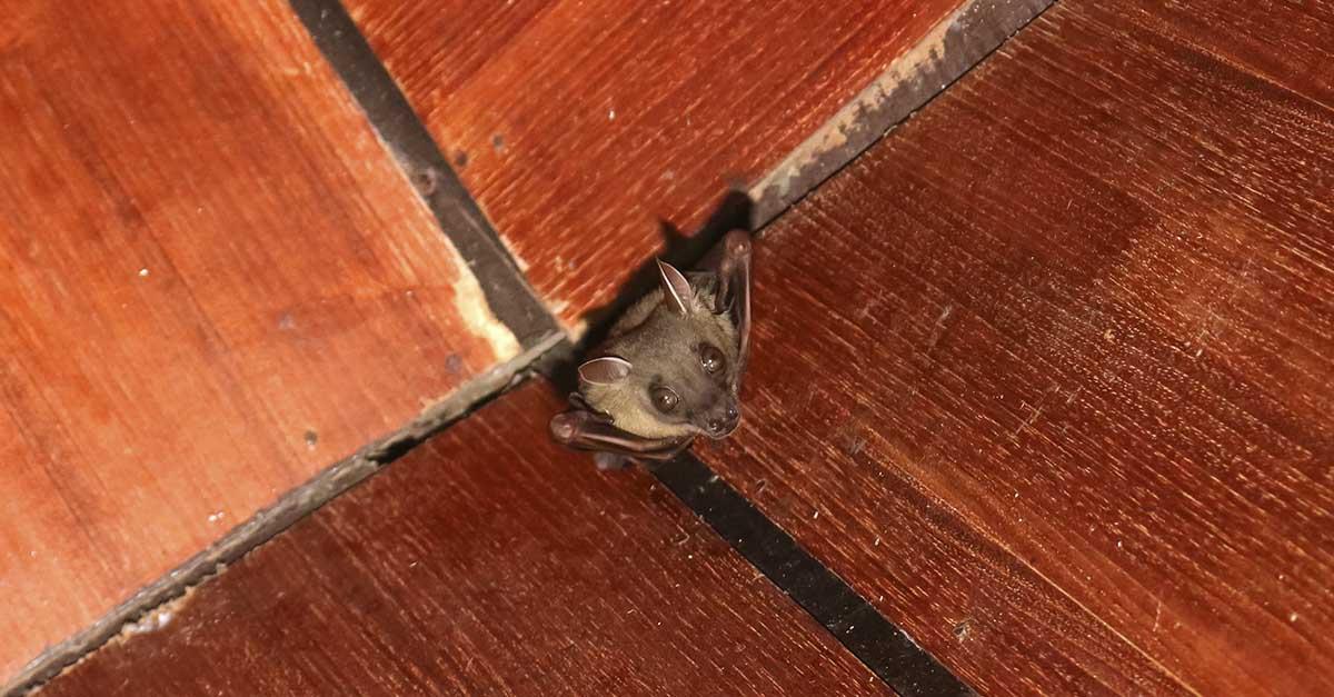 Flaggermus i taket