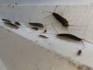 På Folkehelseinstituttet forskes det på insekter, blant annet skjeggkre. (FOTO Norsk Hussopp Forsikring)