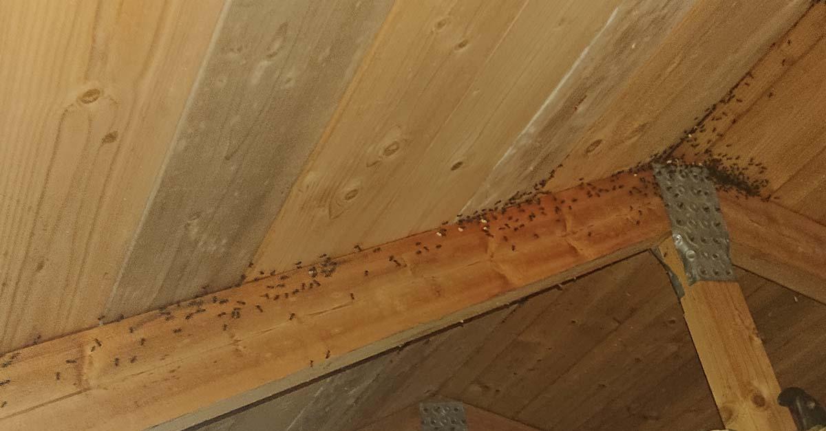 Skogsmaur i taket på loft