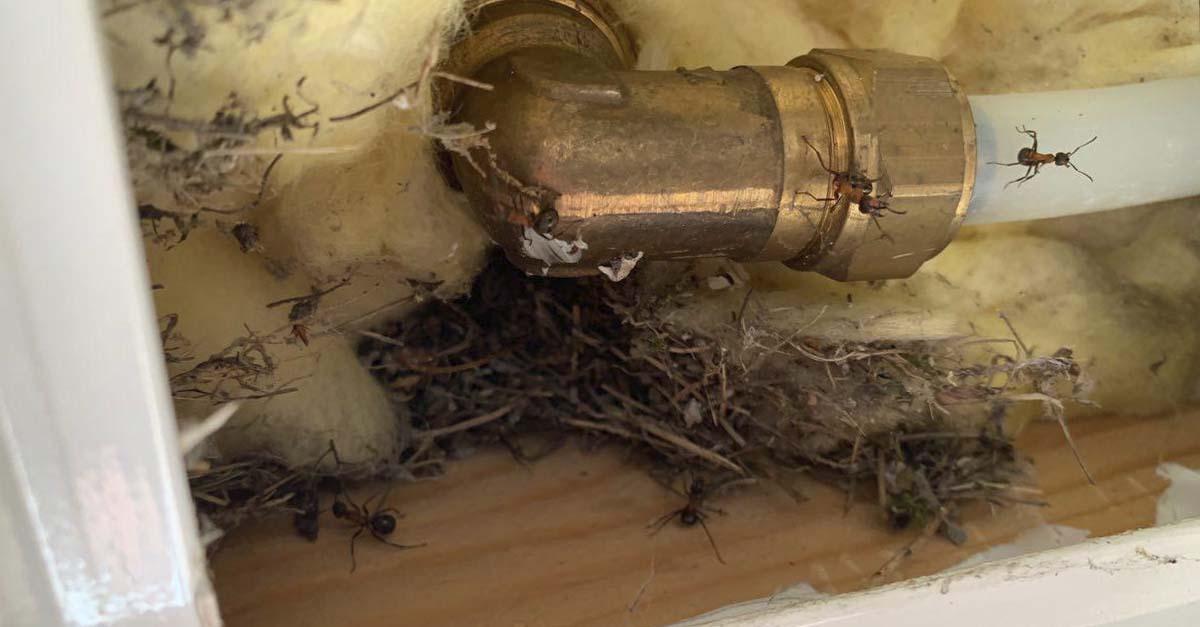 Skogsmaur inne i vegg ved stoppekran for vann