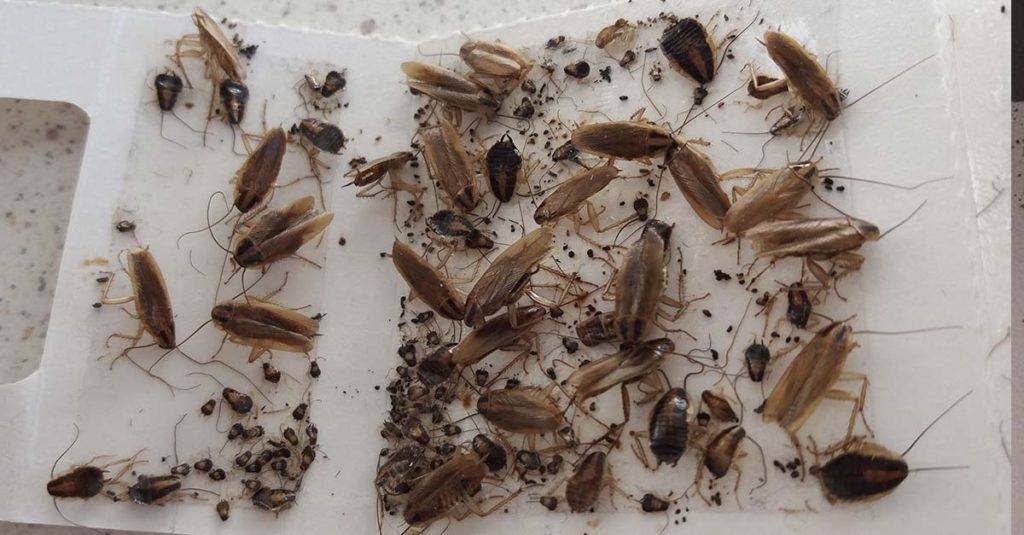 Masse kakerlakker i limfelle