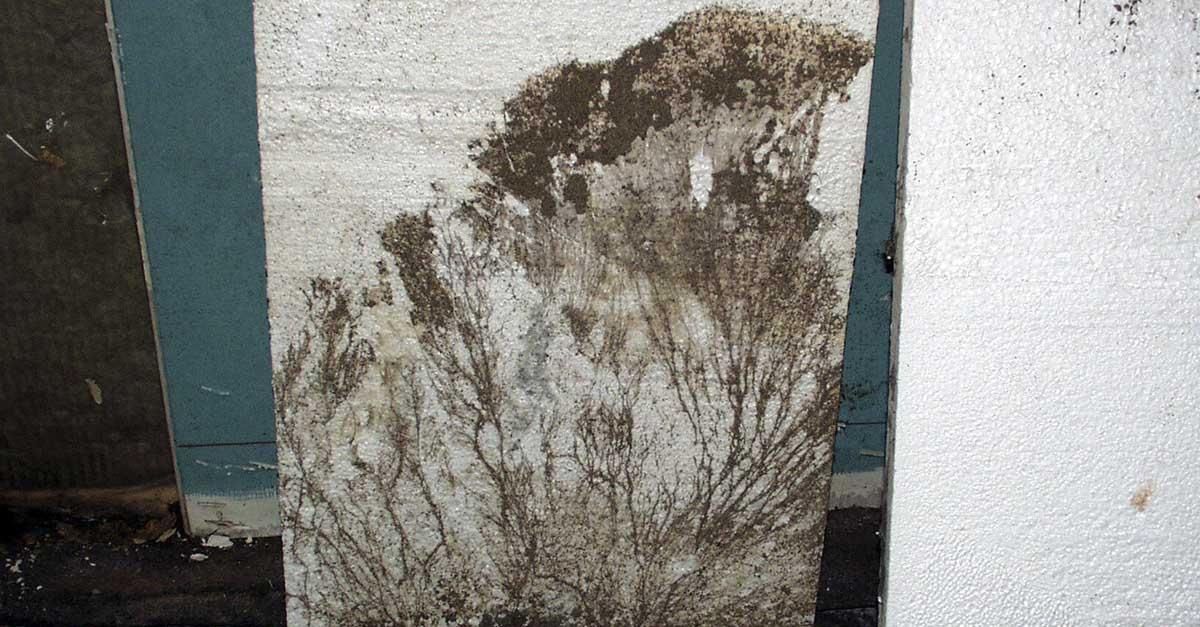 Strengmycel av kjellersopp på murvegg.