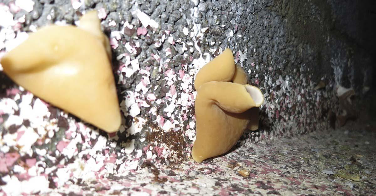 Fruktlegeme til kjellerbegersopp på murvegg