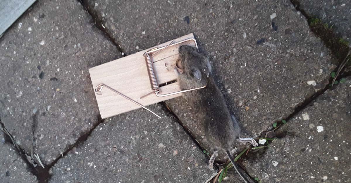 En mus i musefelle ute på heller