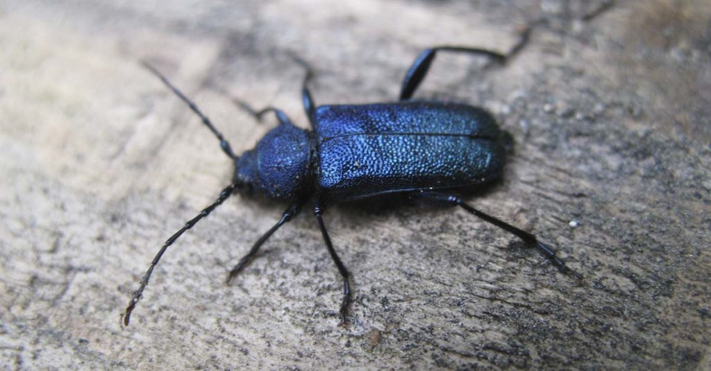 Nærbilde av blåbukken med den karakteristiske blåsvarte fargen