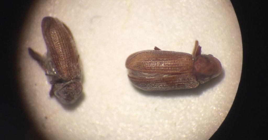 Fotografi av stripet borebille sett gjennom mikroskop
