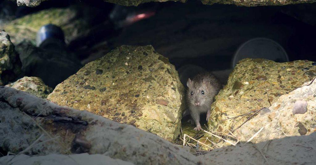 Du må tette boligen for å unngå rotter og mus